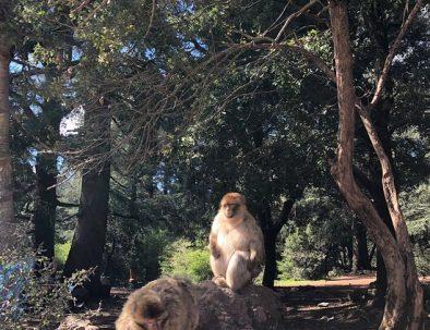 monkeys of Azrou Morocco